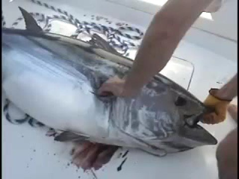 Big Tuna Fishing with Captain Jeff