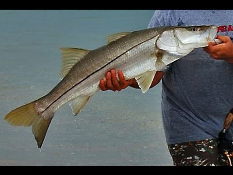 Catch Perfect Slot Snook With Happy Bait