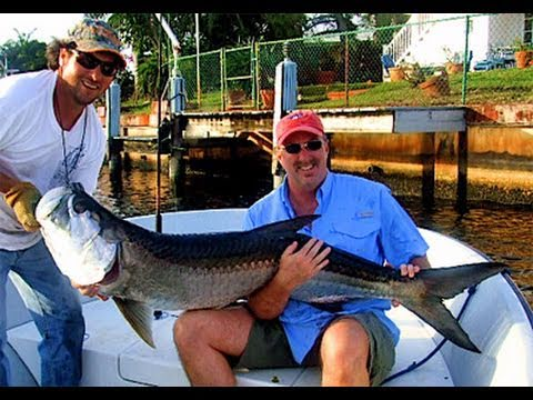 Giant Barracuda Monster Tarpon On Mullet