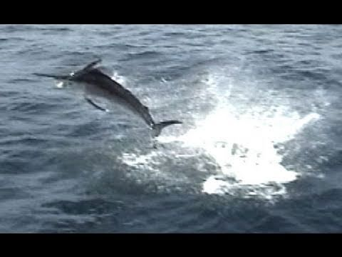 INTENSE Blue Marlin FIGHT (Fort Lauderdale)
