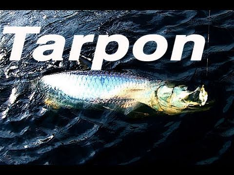 To Catch Tarpon You Need The Perfect Bait