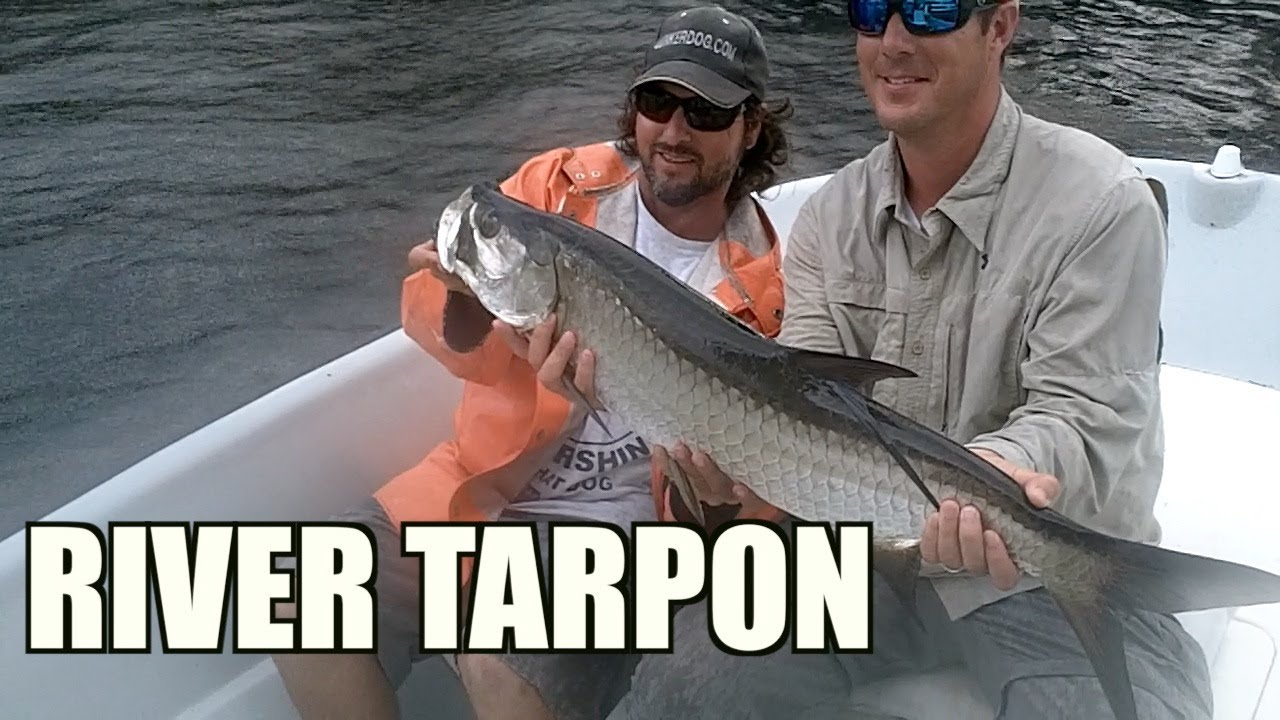 Tarpon Fishing Inshore Rivers on LIve Mullet