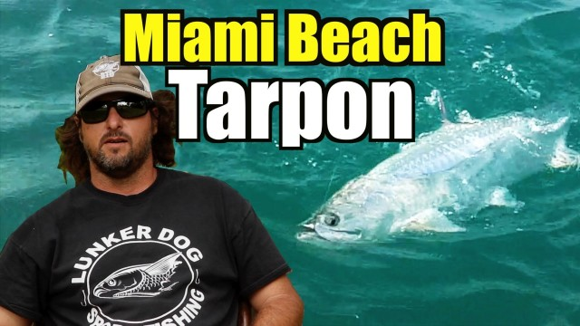 Miami Beach Tarpon Action – Shrimp Life