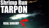 Shrimp Run Tarpon with REAL SHRIMP – Lunkerdog