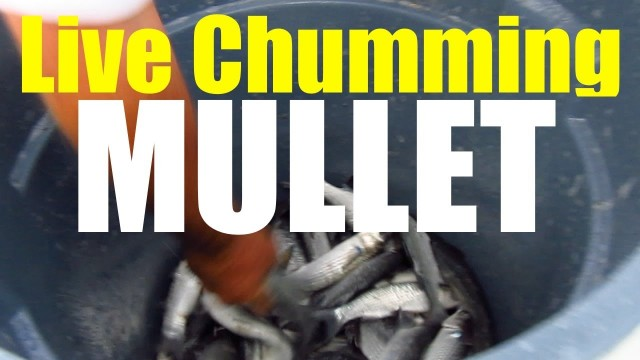 How To Live Chum Mullet