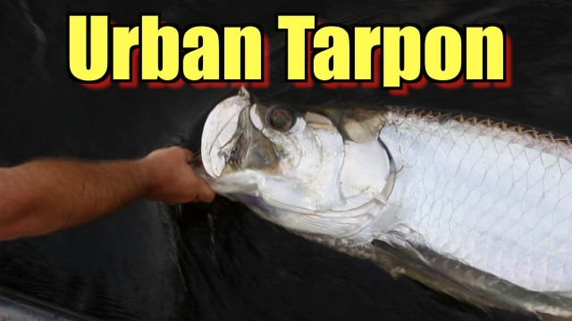 Big Tarpon Fishing Video – Urban Fishing with Captain Jeff (Full Episode)