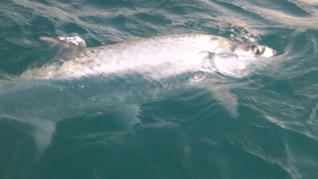 Fort Pierce Tarpon Fishing