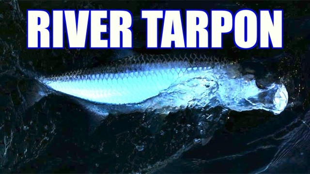 Inshore Tarpon FIshing – Run That Dog