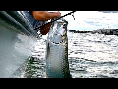 Tarpon Fishing the Beach Mullet Run Pods Being Crashed By Tarpon in HD Slow Motion