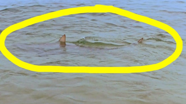 This Shark is 10 Feet From The Beach in 2 Feet of Water!