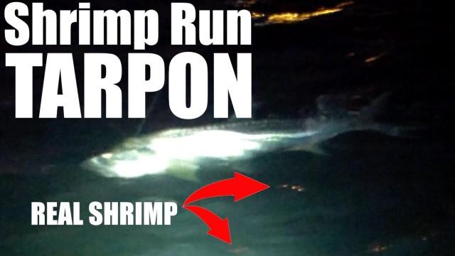 Shrimp Run Tarpon with REAL SHRIMP – Lunkerdog