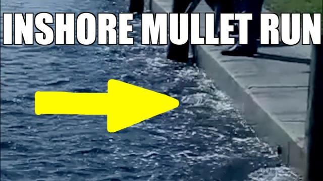 Inshore Mullet Run Feeding Frenzy