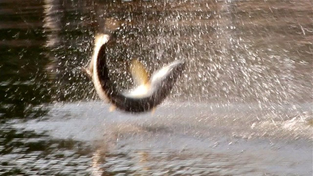 Tarpon Jump Fishing Video